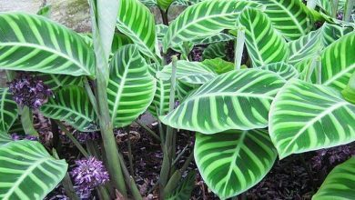 Photo of Cuidados e cultivo de Calathea makoyana
