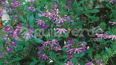 Photo of Cuidados e cultivo de Scaevola aemula