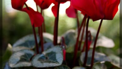 Photo of Cyclamen Plant Care