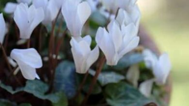 Photo of Cyclamen Plant Division: Como dividir as lâmpadas Cyclamen