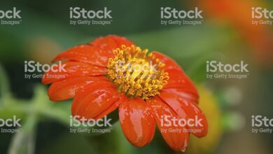 Photo of Descubra a beleza das flores de Tithonia rotundifolia