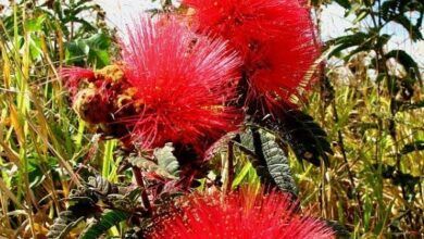 Photo of Descubra as lindas flores do tweedii Calliandra
