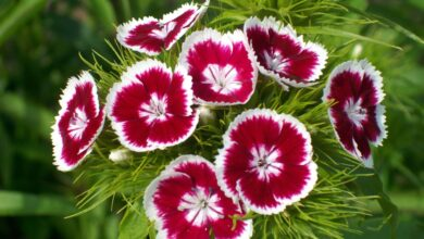 Photo of Dianthus barbatus Clavel de poeta