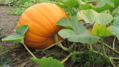 Photo of Dicas para o cultivo da abóbora: Como cultivar sementes de abóbora para o seu jardim
