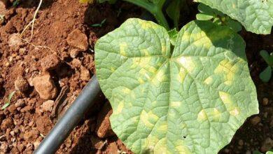 Photo of Doenças da abóbora: mais sobre as doenças da abóbora e seu tratamento