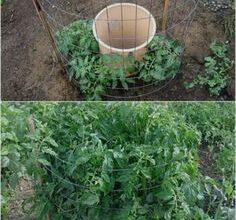 Photo of Early Girl Tomato Care – Aprenda a cultivar tomates como uma menina