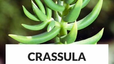 Photo of Entretenimento da planta Crassula tetragona ou pin miniature