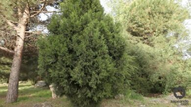 Photo of Entretien de la plante Juniperus thurifera ou Sabina albar