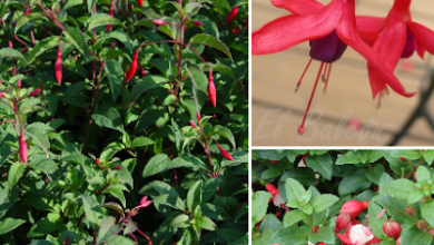 Photo of Fuchsia ou Aljaba cuidados