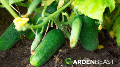Photo of Growing Cucumbers: Your Guide to Planting, Growing and Harvesting Cucumbers