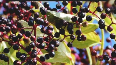 Photo of Growing Elderberries: A Complete Guide to Planting, Growing and Harvesting Elderberries