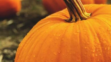 Photo of Growing Pumpkins: A Guide to the Best Varieties, Planting, Troubleshooting, and Harvesting