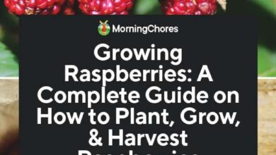Photo of Growing Raspberries: A Complete Guide to Planting, Growing and Harvesting Raspberries