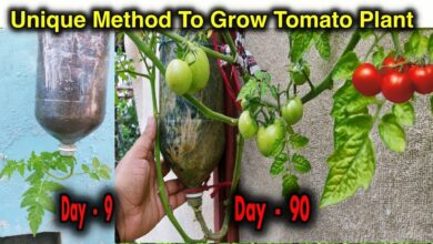 Photo of Growing Tomatoes Upside Down – Dicas para o Growing Tomatoes Upside Down