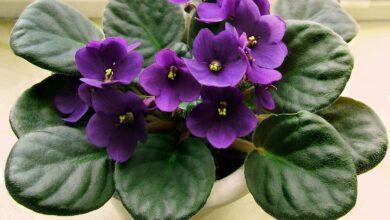 Photo of Guia de Rega de Violetas Africanas: Como Regar uma Planta Violeta Africana
