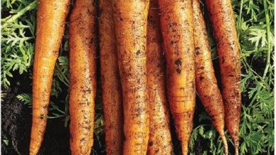Photo of Imperator Carrot Information – Comentar cultiver les carottes Imperator