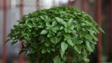 Photo of Informações sobre o cultivo de manjericão dentro de casa