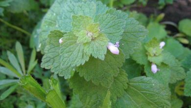 Photo of Lamium amplexicaule, uma planta que cresce facilmente