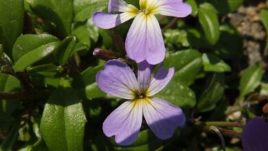 Photo of Malcolmia littorea, uma planta perene com flores roxas