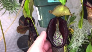 Photo of Nepenthes Watering