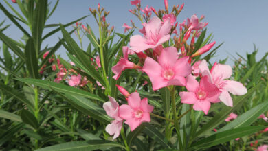 Photo of Nerium oleander, laurier rose ou laurier-rose