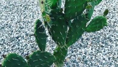 Photo of Opuntia spinulifera ou Nopal squirrel plant care