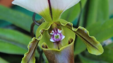Photo of Paphiopedilum, uma planta com flores espectaculares