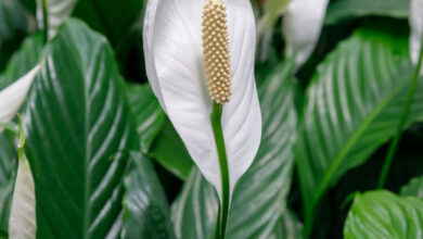 Photo of Peace Lily Plants – Peace Lily Care