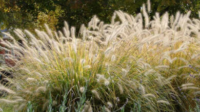 Photo of Pennisetum, Foxtail ou Foxtail Care