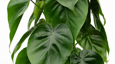 Photo of Philodendron Information
