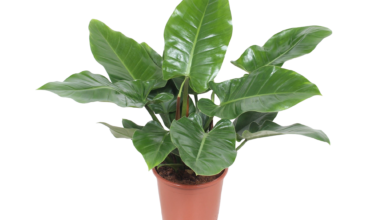 Photo of Philodendron Plants