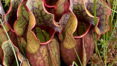 Photo of Pitcher Plant Seeds