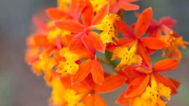Photo of Plant Care Epidendrum radicans ou Fire Star