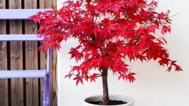 Photo of Plant CareCountry Maple