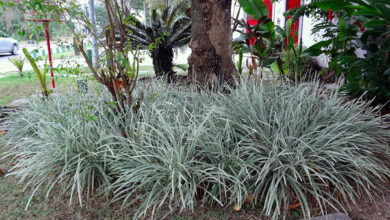 Photo of Propagação de plantas serpentes