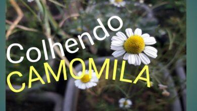 Photo of Quando colher plantas de camomila: Quando colher flores de camomila