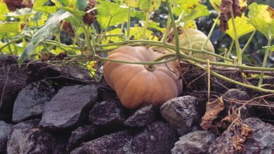 Photo of Recebendo flores de abóbora – Por que uma planta de abóbora não floresce