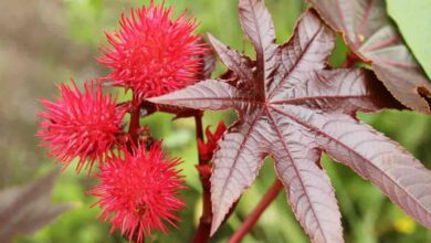 Photo of Ricinus Care