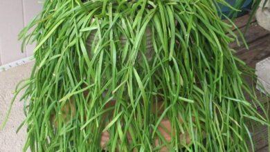 Photo of Ripsalis ou Ripsalis tratamento de plantas