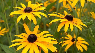 Photo of Rudbeckia ou cuidado de plantas de Rudbekia