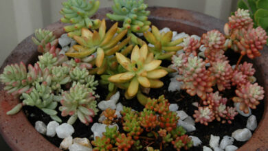 Photo of Sedum, Texiote ou Sedo Plant Care