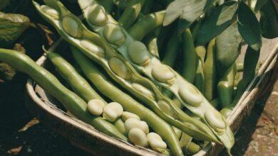 Photo of Semear feijão de lima – Como cultivar feijão de lima no seu jardim