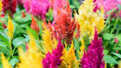 Photo of Soins de la plante Celosia argentea ou Cresta de gallo