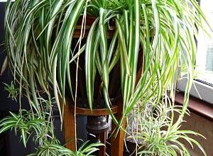 Photo of Spider Plant Care