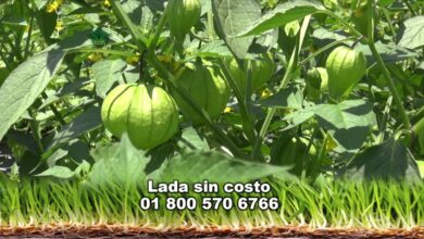 Photo of Tomatillo Growth: O Guia Completo de Plantio, Cultivo e Colheita de Tomatillas