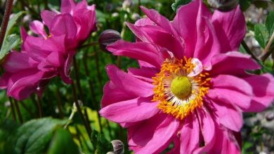 Photo of Anemone giapponese