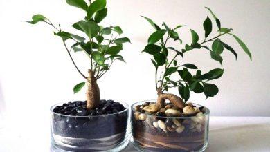 Photo of Ginseng bonsai, como curar