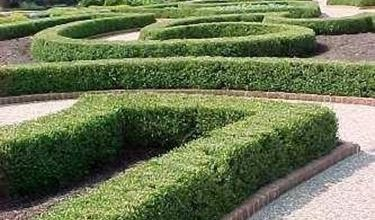 Photo of Buxus Sempervirens