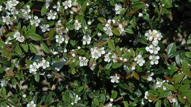 Photo of Cotoneaster