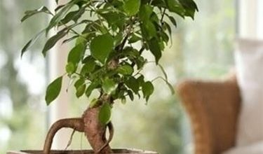 Photo of Ficus ginseng